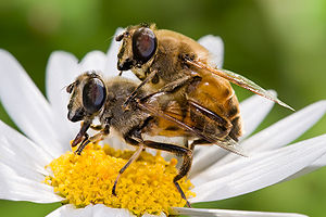English: Drone flies, Eristalis tenax, mating ...