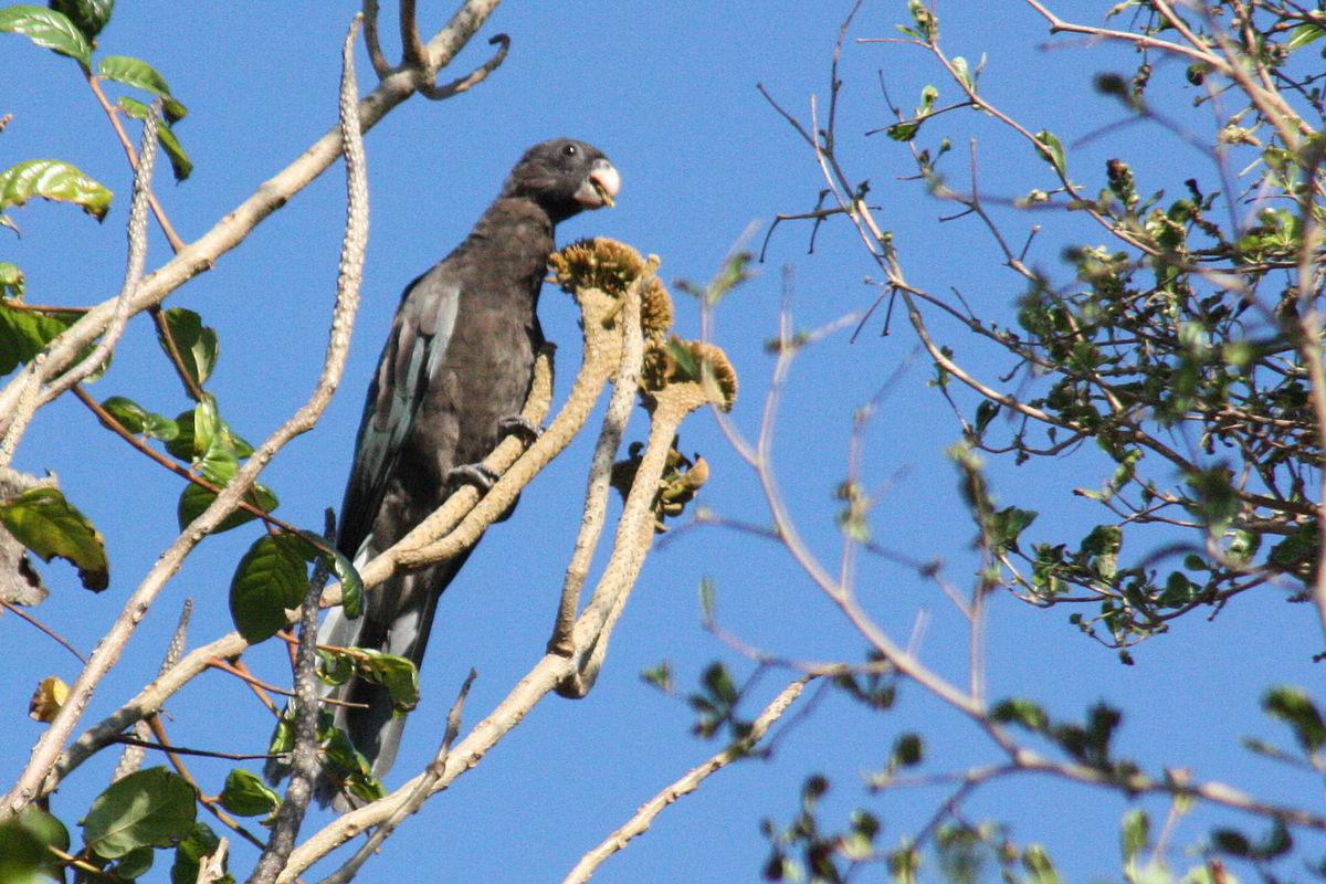 Lesser Vasa Parrot Wikipedia