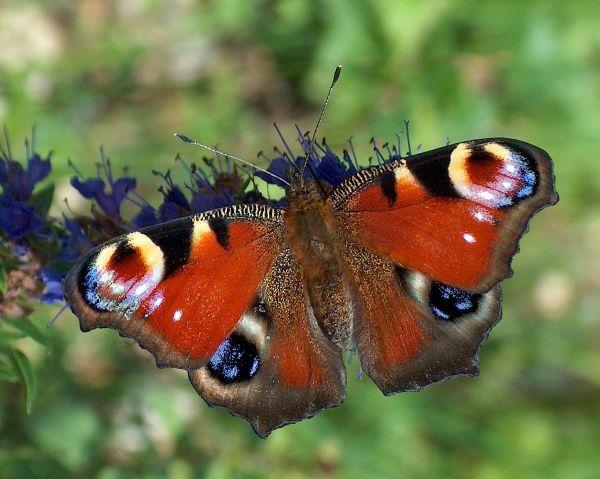Motyle – Wikipedia, wolna encyklopedia