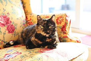 English: A female domestic shorthair tortoises...