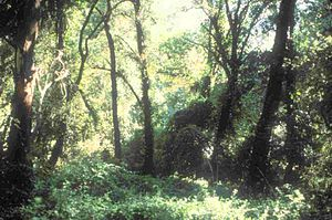 English: Cosumnes River Riparian Woodland, Sac...