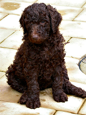 A brown standard poodle at five weeks