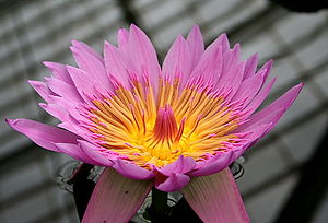 Nymphaea spp. from the San Francisco Conservat...