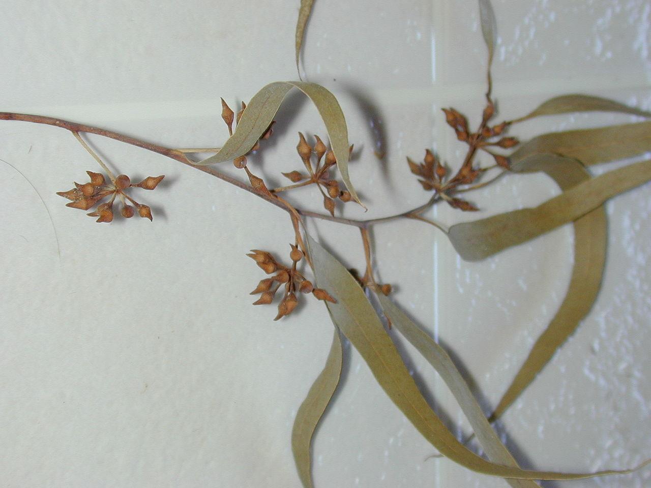 Evitar ronquidos con eucalipto