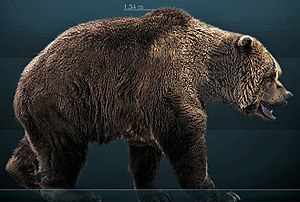 reconstruction of a European cave bear (Ursus ...