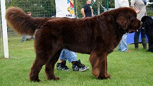 Newfoundland during Dogs Show in Rybnik.