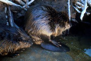 A beaver pair