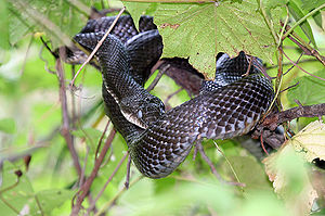 A B\black rat snake (Elaphe obsoleta obsoleta)...