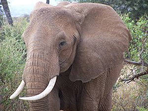 Elephant on Safari in Kenya