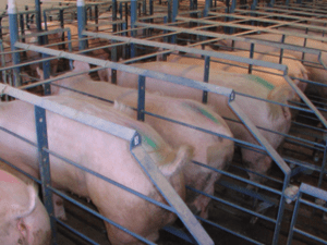 Gestation crates, used on modern hog productio...