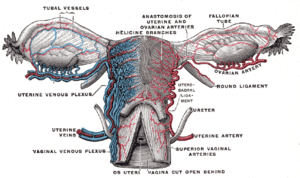 Vessels of the uterus and its appendages, rear...