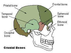 Illu cranial bones