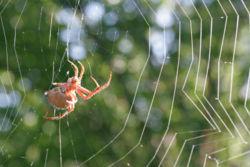 Laba-laba penenun di tengah jaringnya