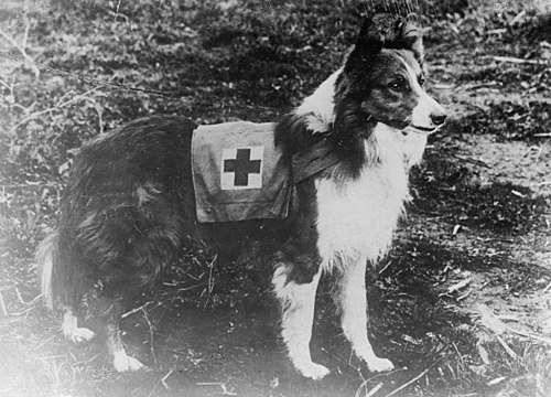 Red Cross dog, 1909. Image via Wikipedia.