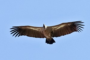 English: A young White-backed Vulture in Mikum...