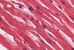 Image result for Cardiac muscle