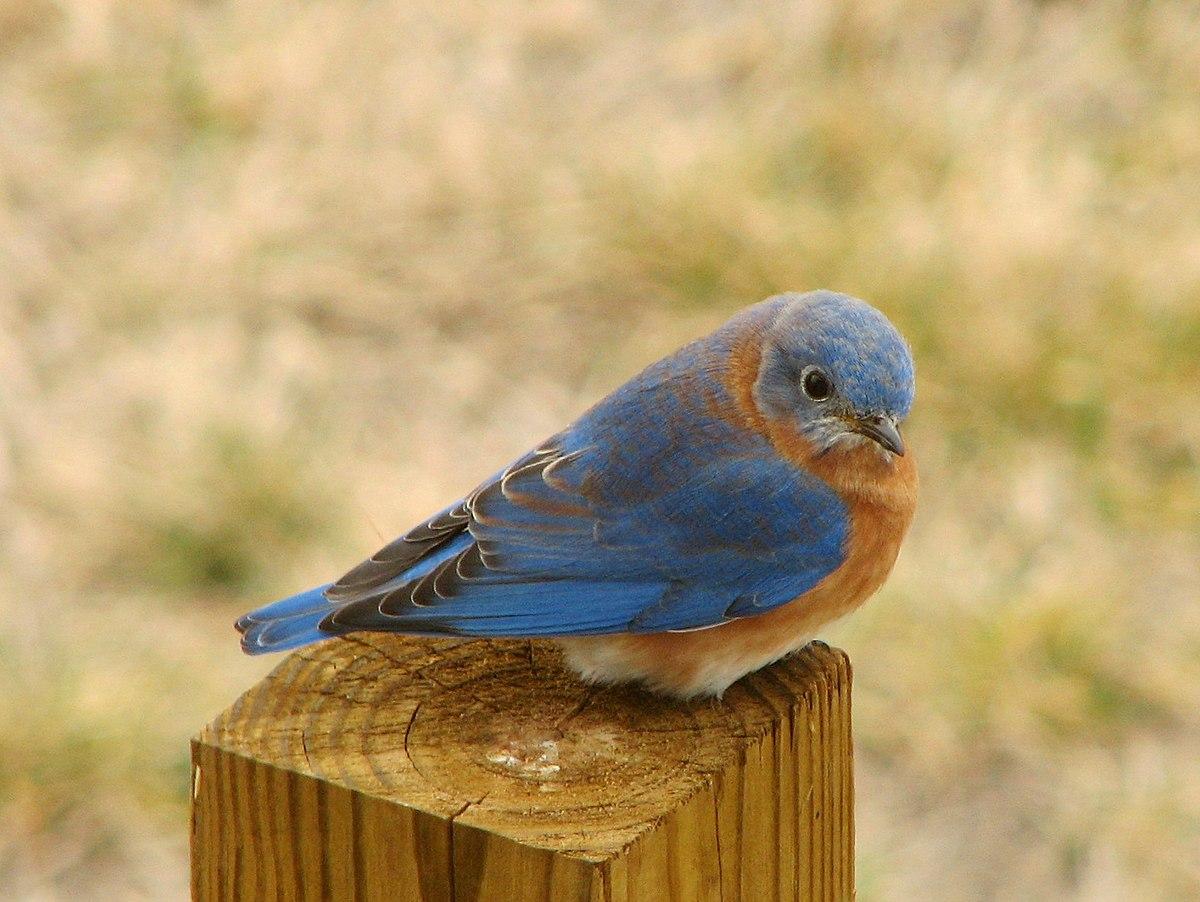 bluebird - wikipedia