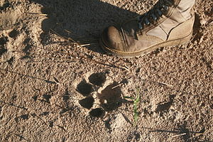 Footprint of a Lion, Zambia, Luangwa Valley