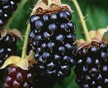 Marionberries (2493507934).jpg