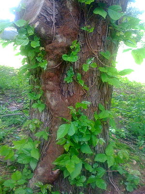 English: This is an old poison ivy vine from m...
