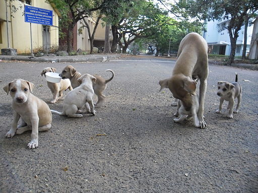 https://i1.wp.com/upload.wikimedia.org/wikipedia/commons/thumb/d/d5/Puppies_in_AU_3.JPG/512px-Puppies_in_AU_3.JPG