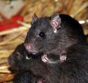 English: Rat