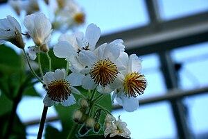 Dansk: Stuelind (Sparmannia africana: Blomster...
