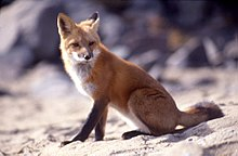 220px Vulpes vulpes sitting - Vellos humano anatomía y función
