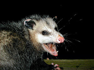 A very large Virginia Opossum baring its sharp...