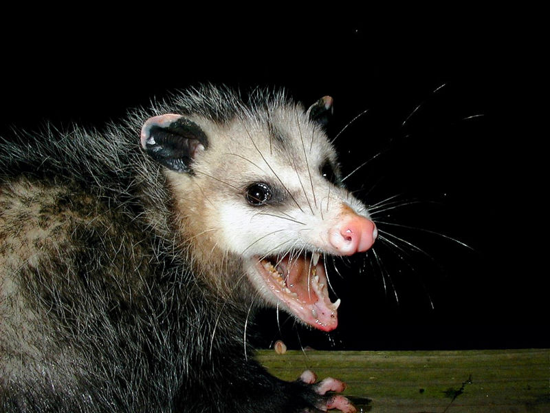 Image result for possum faces