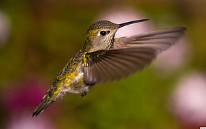 English: Fem Anna's Hummingbird