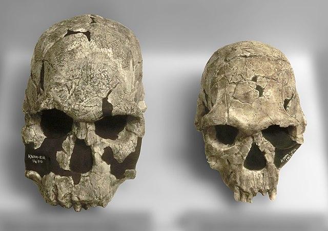 Comparación entre Homo habilis y Homo rudolfensis
