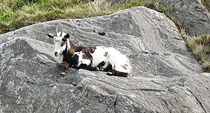 Lazing in the Sun. A feral goat on Tryfan
