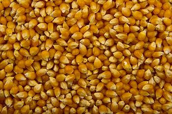 English: Unpopped corn kernels, prepared for p...