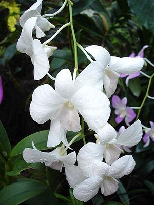White orchid -taken in Singapore botanical gardens