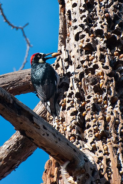 File:Acorn Woodpecker with Hoard.jpg