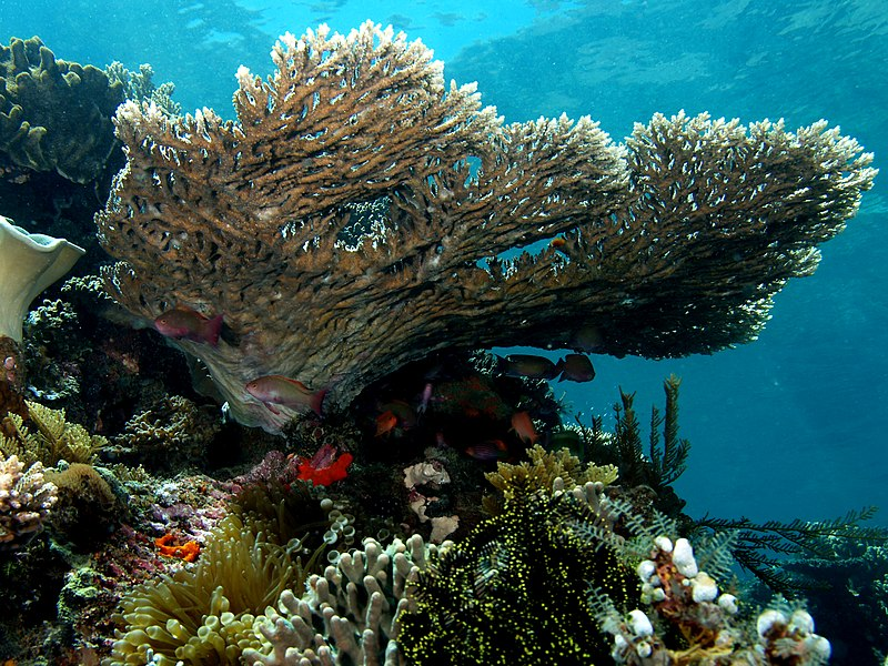 File:Acropora latistella (Table coral).jpg