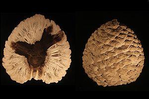 Petrified Araucaria mirabilis Cone; Age: Juras...