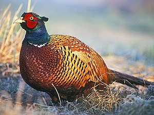 The Common Pheasant, the most important bird f...
