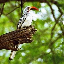 Red Billed Hornbill Wikipedia