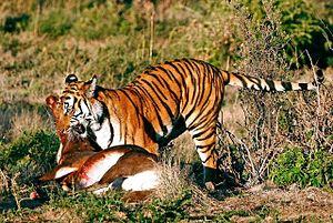 English: A South China Tiger with kill.