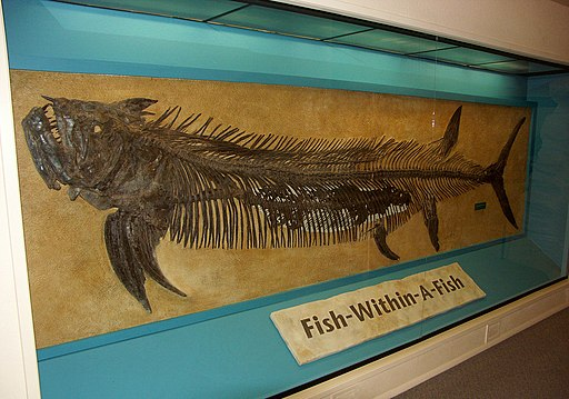 Xiphactinus audax Sternberg Museum