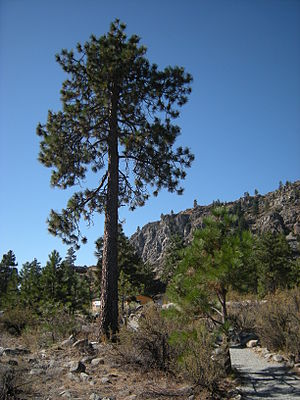 Ponderosa Pine, Columbia Breaks Fire Interpret...