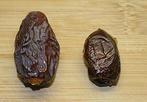 Two fruits of the Date Palm, The Left is a Med...