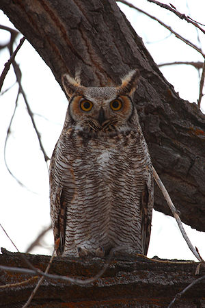 Great Horned Owl in winter, Wyoming
