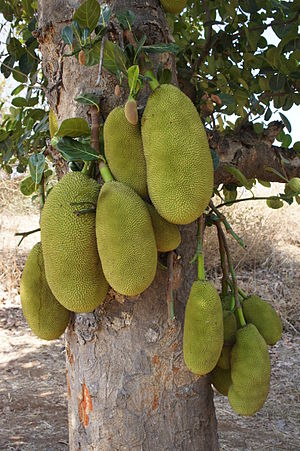 English: Jackfruit in Gujarat, India.