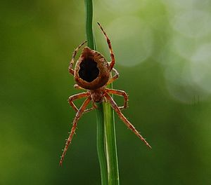 English: I found this gorgeous spider in my ga...