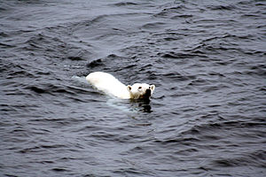 A polar bear swimming