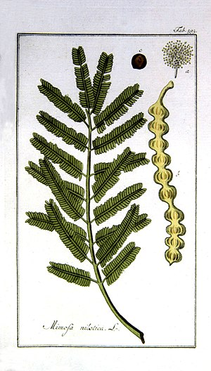 Mimosa nilotica Tafel 595 Afbeeldingen der art...