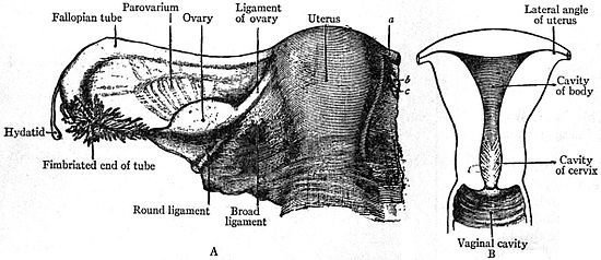 And Uterus Dog Ligaments Ovary